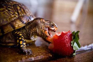 animals reptiles reptile turtle fruit strawberries