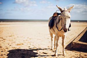 animals sky donkey outdoors