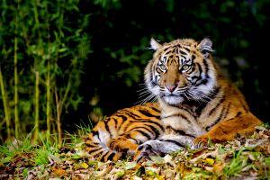 animals tiger big cats