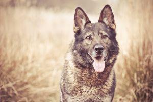animals tongues dog
