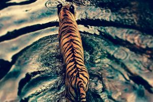 animals water big cats tiger