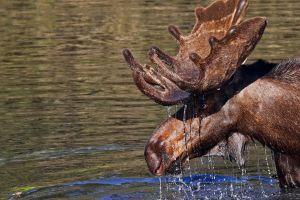 animals water moose