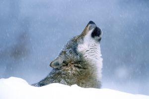animals wolf snow nature winter