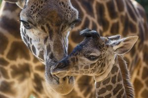 baby animals animals giraffes