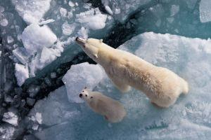 baby animals cubs arctic animals looking up ice polar bears