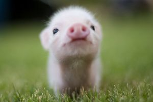 baby animals pigs grass animals