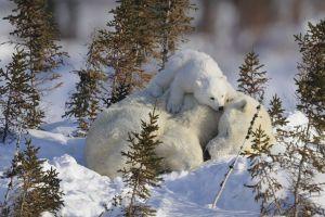 baby animals polar bears animals snow