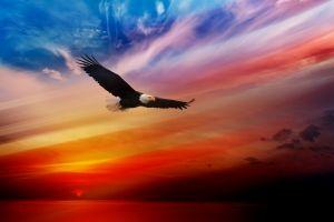 bald eagle birds animals eagle sunset
