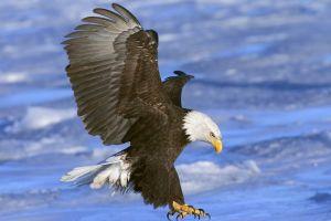 bald eagle birds eagle wings sea attack