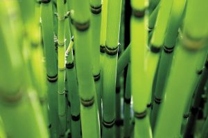 bamboo branch nature plants