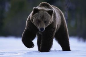 bears animals snow