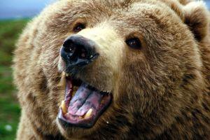 bears nature closeup animals