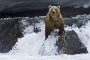 bears polar bears animals nature