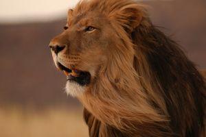 big cats lion animals