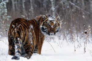 big cats looking back snow tiger animals