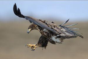 birds animals bird of prey eagle