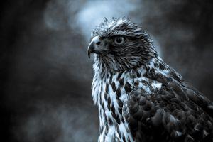 birds animals eagle