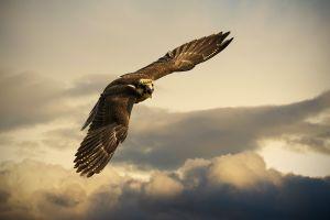 birds animals falcons