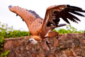 birds animals flying vultures