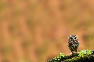 birds owl moss branch animals