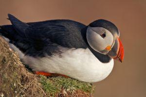 birds puffins animals nature