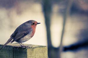 birds robins animals