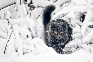 black cats yellow eyes snow cats animals