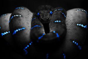 black digital art boa constrictor selective coloring blue snake