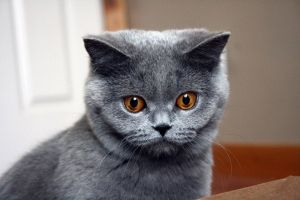 blue animals british shorthair cats
