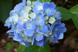 blue flowers flowers hydrangea