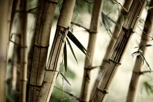 blurred depth of field brown bamboo plants photography trees