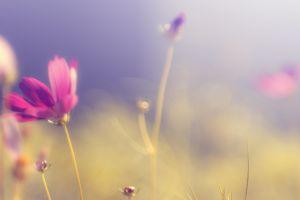 blurred purple flowers nature flowers