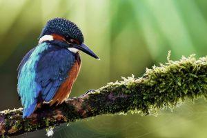 bokeh kingfisher birds branch animals