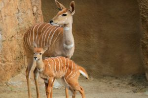 bongo deer animals deer
