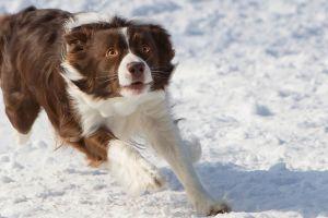 border collie dog snow animals