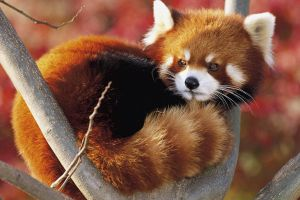 branch animals red panda outdoors nature