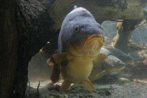 carp fish animals