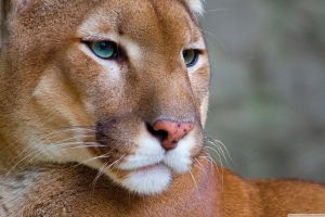 cats animals big cats pumas