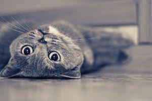 cats blue animals british shorthair