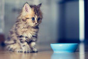 cats blue eyes bowls ben torode wooden surface animals kittens