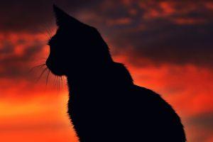 cats silhouette sunset animals