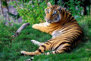 cats tiger animals