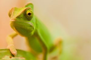 chameleons macro animals