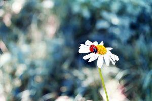 chamomile animals ladybugs flowers