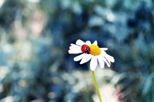 chamomile ladybugs flowers animals