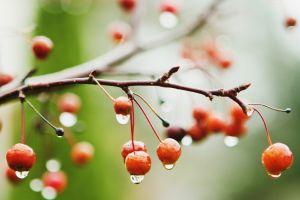 cherries (food) depth of field plants water drops twigs macro