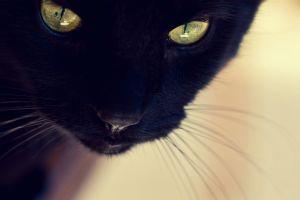closeup cats animals black cats