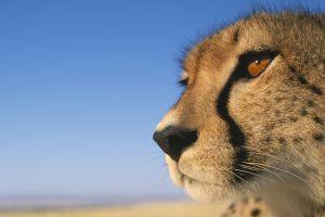 closeup cheetahs animals