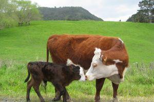 cow animals field baby animals