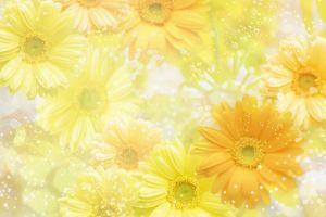 daisies yellow flowers flowers
